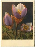 VINTAGE ALPINE ANEMONE FLOWERS SMALL LITHOGRAPH SWITZERLAND COLOR SWISS PRINT