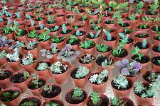 3 Plant Set - Live Lot Cute Miniature Fairy Garden Plants - Huge Assortment!