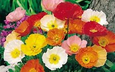 POPPY GIANT varied 500 seeds seeds