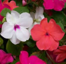 MIX NEW GUINEA Impatiens colourful flowers plants - large 4-cell seedling punnet