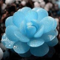 150 Samen Blau Witchford Lithops Samen Schöner Blumensamen für Hauptblumen R1B2