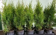 54 Stück Thuja Smaragd  45 bis 50 cm  Heckenpflanze Immergrün