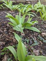 75++ Ramp seeds, wood leek and wild leek, Allium tricoccum (harvested 2020)