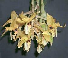 Orchid Stanhopea wardii species venezuela Exotic Tropical Plants