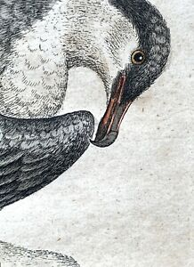 """George Edwards """"Arctick Bird"""" ~ 1749 hand-colored engraving. ~ 18th Century"""