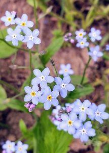 Sky Blue Myosotis forget-me-nots or scorpion grasses 25 seeds