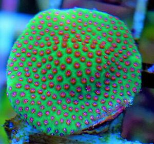 Special Porites, Easy Encrusting SPS Coral Frag
