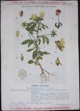 1920 French Medicinal Plant Botanical Print- Cat's Face