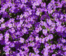 Aubrieta Rock Cress Purple Aubrieta Hybrida Hendersonii - 500 Bulk Seeds