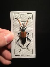 Entomologie Insecte Superbe Cerambycidae Pachyteria javana A1 d'Indonesie!!
