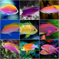x5 ASSORTED ANTHIAS PACKAGE - SM/MD - FISH SALTWATER -  FREE SHIPPING