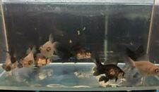 Assorted Panda Goldfish - LIVE FISH