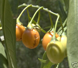 Desert Raisin or Bush Tomato Seeds Bush Tucker Hardy Drought & Frost Tolerant