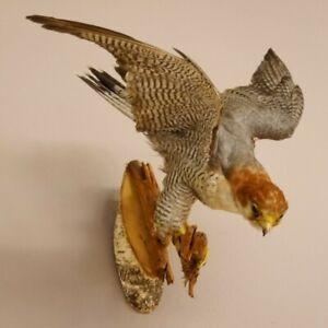 Rothals Falke Greifvogel Präparat Tierpräparat mit Genehmigung zum Vermarktung