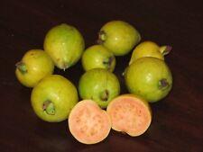 Yellow Strawberry-Guava Psidium cattleyanum var. littorale 5+ seeds