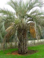 5 graines de PALMIER ABRICOT(Butia Capitata)G176 JELLY PALM SEEDS SAMEN SEMILLAS