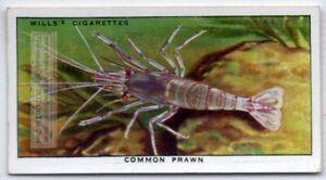 Common Prawn Shrimp Seafood Marine Ocean  c80 Y/O Ad Trade Card