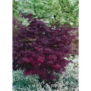 Acer atropurpurea 9cm 30-40 cm ideal  garden or container Purplish-Red .£5.99