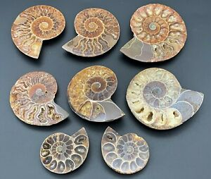 Excellent Ammonite Fossil Half Cut & Polished Cretaceous - Large Medium & Small