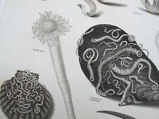 1808 CONCHOLOGY Shells Engraving Print Rees Plate