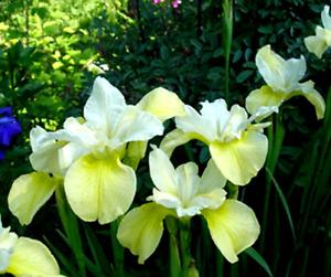 Siberian Iris  **WELFENSCHATZ**  Bright Yellow and Cream!