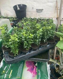 10 Bushy Box Plants in P9 Pots 20cm Tall Buxus Sempervirens.Quality Evergreens