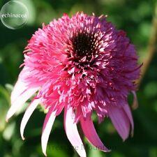 100 pcs Heirloom 'Razzmatazz' Echinacea Flower Seeds, Big Blooms Pink Coneflower