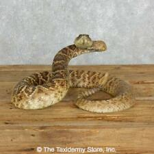 #18016 WC | Western Diamondback Rattlesnake Taxidermy Mount For Sale