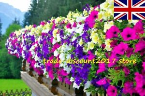100 Seeds of Petunia Hybrida Pendula Balcony Mix Annual Flower Plants UK SELLER