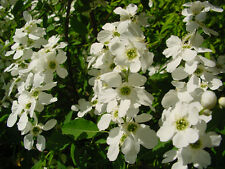 TURKESTAN PEARL BUSH Exochorda korolkowii WHITE BLOSSOMS WITH A FRUITY SCENT