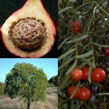 DESERT QUANDONG 'NATIVE PEACH' (Santalum acuminatum) SEEDS 'Bush Tucker Food'