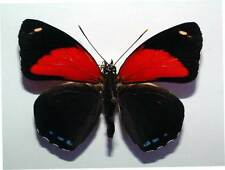 CALLICORE CYLLENE - unmounted butterfly