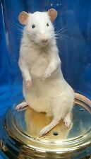 5 LEGGED FREAK RAT,SIDESHOW GAFF DISPLAY,TAXIDERMY,ODDITY,DEFORMED,MUTANT,CURIO