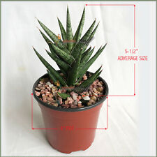 """Sansevieria Francisii, Snake plant Imported From Thailand 4"""" POT FREE SHIPPING"""