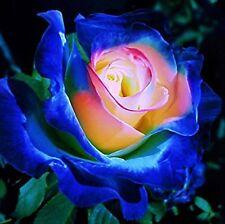10x Seltene Rosen Samen Blau-Rosa Saatgut Blumensamen Pflanzensamen Blumen 52*