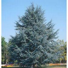 Cedrus atlantica Blaue Hängezeder 100-125cm