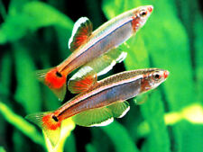 10 X WHITE CLOUD MOUNTAIN MINNOW - TROPICAL FISH