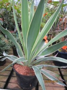 Yucca gloriosa Variegata - gelbbunte Kerzen-Palmlilie