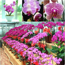Real Phalaenopsis Orchids Quality Potted Flowers Seeds Ornamental Garden Plant