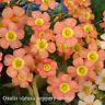 1 Bulb Rare Oxalis Obtusa Coppery orange Oxalis Flowers For Garden Kalanchoe HOT