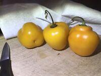 25 Seeds Orange Manzano Chili Pepper  Rocoto Locoto USA SELLER 🇺🇸