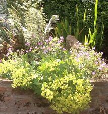 Alchemilla mollis (LADYS MANTLE) HARDY PERENNIAL RHS AGM PLANT IN - 7cm Pot