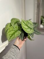 """Scindapsus Pictus Exotica 6"""" Pot Fully Rooted Vining Plant """"Silver Pothos"""""""