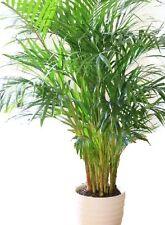 Bergpalme Palmen zur Verbesserung des Raumklimas Mittel gegen Schadstoffe Exoten