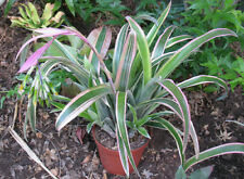 BILLBERGIA NUTANS VARIEGATED - Quality Offsets