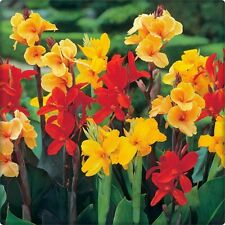 5 MIXED CANNA LILY Generalis Mix Colors Red Yellow Hummingbird Flower Seeds