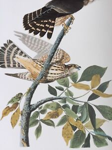 Vintage Audubon Print Merlin or Pigeon Hawk Bird 25902