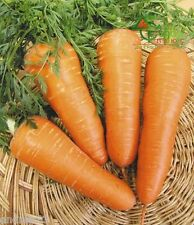 Seeds of Carrot Red Cor 2 g Mорковь Ред Кор Ukraine S0158