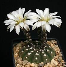 Gymnocalycium Ragonesii (30 SEEDS) Very Rare Cactus Succulent Plant Samen Korn