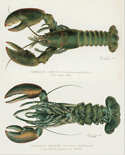 American lobster male female lithograph Denton 1900 art poster print  SKU2581